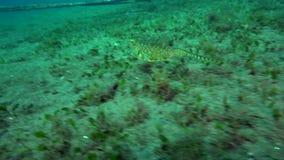 Longhorn cowfish Lactoria cornuta is eating in shallow water in Zulu sea Dumaguete. Philippines stock footage
