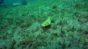 Longhorn cowfish Lactoria cornuta is eating in shallow water in Zulu sea Dumaguete. Philippines stock video