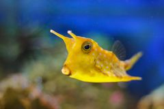 Longhorn cowfish, Lactoria cornuta, nature water habitat. Yellow fish in river water. Vegetation with fish. Blue water with orange royalty free stock image