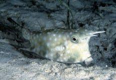 Longhorn Cowfish, Mabul Island, Sabah Stock Image