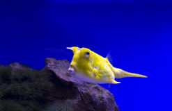 Longhorn Cowfish yellow Royalty Free Stock Photos