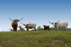 Longhorn Cows on the Hill. And overlooking the ranch Royalty Free Stock Image