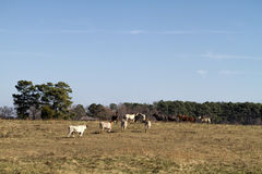 Longhorn Cows and Horses Landscape Stock Photos