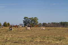 Longhorn Cows and Horses Landscape 2 Royalty Free Stock Image