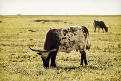 Longhorn Cows on Open range. Royalty Free Stock Photo