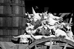 Longhorn czaszki Fotografia Royalty Free