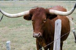 Longhorn de Texas, madeira lançada à costa Texas fotografia de stock