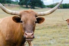 Longhorn de Texas, madeira lançada à costa Texas foto de stock royalty free