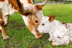 Longhorn diminuto de Texas da mãe e da vitela imagens de stock