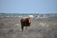 Longhorn in a field in Fort Worth Texas stock photos