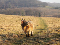 Longhorn Highland Cattle Grazing Royalty Free Stock Image