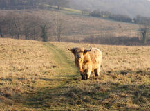 Longhorn Highland Cattle Grazing Royalty Free Stock Images