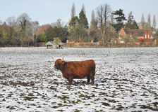 Longhorn Highland Cow standing in the snow Royalty Free Stock Photos