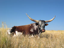LongHorn Holiday Stock Photos
