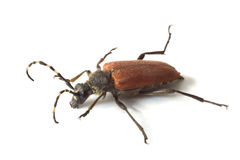 Longhorn-Käfer Stockfotografie