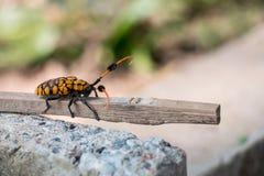 Longhorn-Käfer auf der Niederlassung schmutzig durch Boden Stockbild