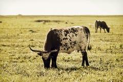 Longhorn-Kühe auf Open Strecke Lizenzfreies Stockfoto