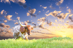Longhorn krowa Zdjęcia Royalty Free