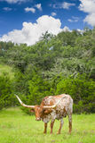 Longhorn-Kuh Stockfotos
