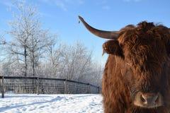 Longhorn-Kuh Lizenzfreies Stockfoto