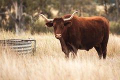 Longhorn-Kuh in der Koppel Lizenzfreies Stockfoto