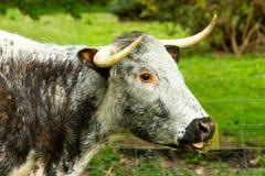 Longhorn-Kuh, eine alte Zucht des Viehs auf allgemeinem Land, Yorkshire lizenzfreie stockbilder