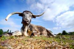 Longhorn-Kuh stockfoto