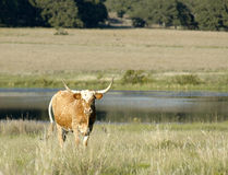 Longhorn landscape. A longhorn walks through a scenic river background Stock Photo