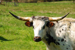 Longhorn Look Royalty Free Stock Images