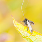 Longhorn Moth Royalty Free Stock Images