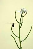 Longhorn moth and Garlic Mustard Royalty Free Stock Photo