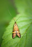 Longhorn-Motte - Nemophora-degeerella Lizenzfreie Stockfotografie