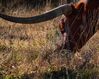 Longhorn Near Austin, Texas Royalty Free Stock Photo