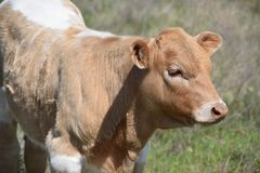 Longhorn baby in a field in Fort Worth Texas stock photo