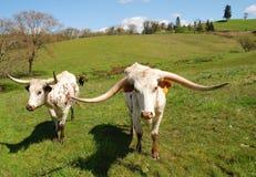 longhorn para Obrazy Royalty Free