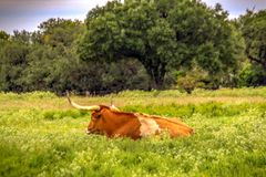 Longhorn resting in pasture of wildflowers. stock photos