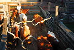 Longhorn Roundup Stock Images