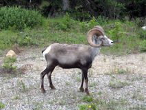 Longhorn Sheep along the Alaska Highway Royalty Free Stock Photo