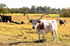 Longhorn standing in field with black cattle Royalty Free Stock Photography