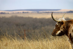 Longhorn stares across rangeland Royalty Free Stock Image
