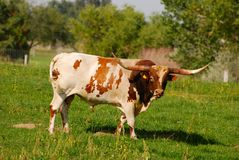 Longhorn Steer Royalty Free Stock Photo