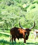 Longhorn Steer Stock Photography