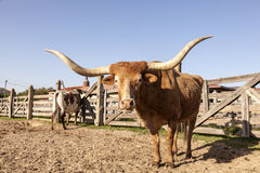 Longhorn steer in Texas Royalty Free Stock Photography