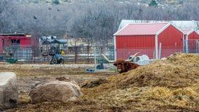 Longhorn Stier auf einem Bauernhof Lizenzfreie Stockfotos