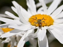 Longhorn (Strangalia quadrifasciata) on daisy Royalty Free Stock Photography