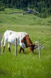 Longhorn Taureau avec des klaxons Image stock