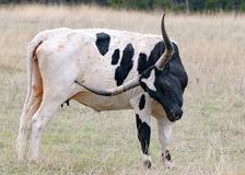 longhorn texas Arkivbild