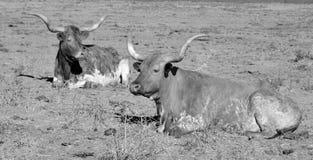 longhorn texas Royaltyfri Foto