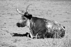 longhorn texas Fotografering för Bildbyråer