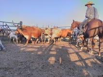 Longhorn travaillant de cowboy photo stock
